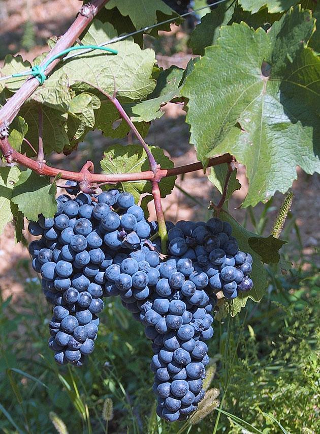 Сорт винограда 4 буквы это